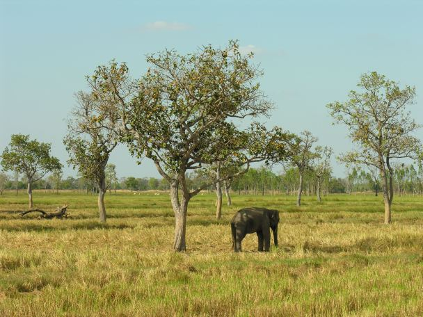 Solitary elephant in Surin province.